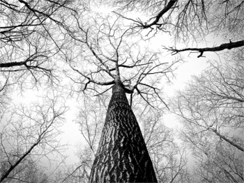 gratisography-tall-tree-barren